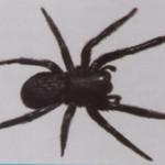Black Widow Spidew