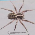 Garden Wolf Spider